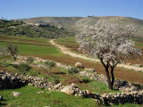 Almond Tree on Small Plot of Land, Near Mount Hebron, Israel, Middle East Photographic Print by Simanor Eitan