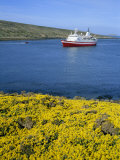 Wild Flowers on New Island, West Falkland in the Falkland Islands, South Atlantic Photographic Print by Renner Geoff
