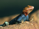 Close-Up of an Agama Lizard Taken in Tsavo National Park, Kenya, East Africa, Africa Photographic Print by Sassoon Sybil