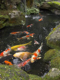 Colourful Carp in Typical Japanese Garden Pond, Higashiyama, Kyoto, Kansai, Honshu, Japan Photographic Print by Simanor Eitan