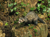 Polecat Ferret, Warwickshire, England, United Kingdom, Europe Photographic Print by Rainford Roy