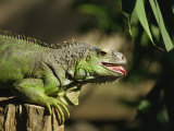 Green Iguana, Bali, Indonesia, Southeast Asia Photographic Print by Jane Sweeney