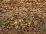Hartmann's Mountain Zebra, Damaraland, Namibia, Africa Photographic Print by Milse Thorsten
