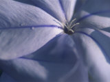 Detail of the Petals of a Blue Flower Photographic Print by Murray Louise