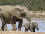 African Elephant Loxodonta Africana) with Calf, Addo Elephant National Park, South Africa, Africa Photographie par Toon Ann & Steve