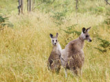 Eastern Grey Kangaroos, Geehi, Kosciuszko National Park, New South Wales, Australia, Pacific Photographic Print by Schlenker Jochen