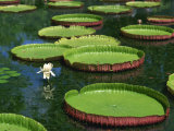 Water Lilies Photographic Print by Richardson Rolf