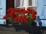 Red Geraniums and Blue Shutters, Bort, Grindelwald, Bern, Switzerland, Europe Photographic Print by Tomlinson Ruth