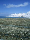 King Penguin Colony, St. Andrews Bay, South Georgia, Polar Regions Photographic Print by Renner Geoff