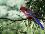 Crimson Rosella, Dandenong Ranges, Victoria, Australia, Pacific Photographic Print by Schlenker Jochen