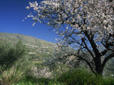 Almond Blossom in Springtime in the Alpujarras, Granada, Andalucia, Spain, Europe Photographic Print by Tomlinson Ruth