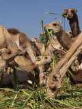 Close-Up of Camels Eating Fodder at the Camel Market at Dawra, Egypt, North Africa, Africa Photographic Print by Traverso Doug