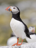 Puffin, Farne Islands, Northumberland, England, United Kingdom, Europe Photographic Print by Toon Ann & Steve