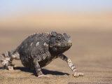 Namaqua Chameleon, Namib Desert, Namibia, Africa Photographic Print by Milse Thorsten