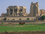 Cow in Field in Front of the Ruins of the Temple at Kom Ombo, Egypt, North Africa, Africa Photographic Print by Richardson Rolf
