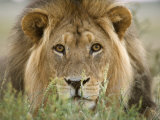 Lion, Kgalagadi Transfrontier Park, Northern Cape, South Africa, Africa Photographic Print by Toon Ann & Steve