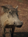 Warthog, Mole National Park, Ghana, West Africa, Africa Photographic Print by Poole David