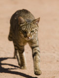 African Wildcat, Namibia, Africa Photographic Print by Milse Thorsten