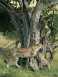 Cheetah Cubs Eight Months Old, Playing in Tree, Masai Mara National Reserve, Kenya, East Africa Photographic Print by Murray Louise