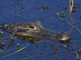 American Alligator, South Florida, United States of America, North America Photographic Print by Rainford Roy