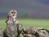 Tawny Owl, Captive, Cumbria, England, United Kingdom, Europe Photographic Print by Toon Ann & Steve