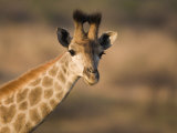 Young Giraffe, Ithala Game Reserve, Kwazulu Natal, South Africa Photographic Print by Toon Ann & Steve
