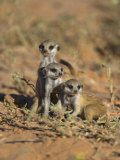 Young Meerkat, Kgalagadi Transfrontier Park, Northern Cape, South Africa Photographic Print by Toon Ann & Steve