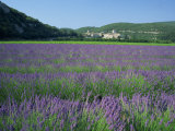 Field of Lavender and Village of Montclus in Distance, Gard, Languedoc-Roussillon, France, Europe Photographic Print by Tomlinson Ruth