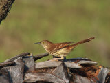 Brown Thrasher, South Florida, United States of America, North America Papier Photo par Rainford Roy