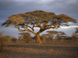 Acacia Tree, Serengeti, Tanzania, East Africa, Africa Photographic Print by Sassoon Sybil