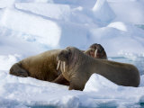 Walrus, on Pack Ice, Spitsbergen, Svalbard, Norway, Scandinavia, Europe Photographic Print by Milse Thorsten