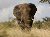 African Elephant Bull, Kruger National Park, Mpumalanga, South Africa, Africa Photographic Print by Toon Ann & Steve