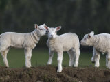 Spring Lambs, Cumbria, England, United Kingdom, Europe Photographic Print by Toon Ann & Steve