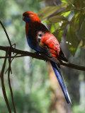 Crimson Rosella, Victoria, Australia, Pacific Photographic Print by Schlenker Jochen