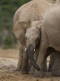 African Elephant Calf, Addo Elephant National Park, South Africa, Africa Photographic Print by Toon Ann & Steve