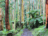 Path Through Forest, Dandenong Ranges, Victoria, Australia, Pacific Photographic Print by Schlenker Jochen