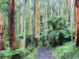 Path Through Forest, Dandenong Ranges, Victoria, Australia, Pacific Photographic Print by Schlenker Jochen