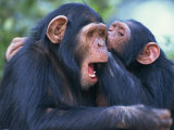Chimpanzee Sanctuary, Sweetwaters, Kenya, East Africa, Africa Photographic Print by Murray Louise