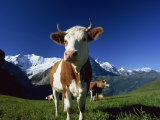 Brown and White Cow in Alpine Meadow, First, Grindelwald, Bern, Switzerland, Europe Photographic Print by Tomlinson Ruth