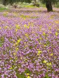 Wildflowers, Near Halawa, Jordan, Middle East Photographic Print by Schlenker Jochen