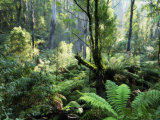 Rainforest, Dandenong Ranges, Victoria, Australia, Pacific Photographic Print by Schlenker Jochen