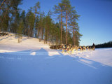 Caveris Husky Safaris, Pure-Bred Siberian Huskies, Karelia, Finland Photographic Print by Murray Louise