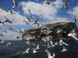 Herring Gulls, Following Fishing Boat with Bass Rock Behind, Firth of Forth, Scotland, UK Photographic Print by Toon Ann & Steve