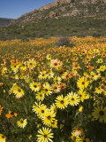 Annual Spring Wildlflower Carpets, Biedouw Valley, Western Cape, South Africa, Africa Photographic Print by Toon Ann & Steve
