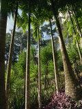Balata Gardens, Martinique, West Indies, Caribbean, Central America Impressão fotográfica por Thouvenin Guy