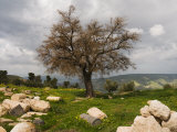 Tree and Ruins, Umm Qais Roman City, Umm Qais, Jordan, Middle East Photographic Print by Schlenker Jochen
