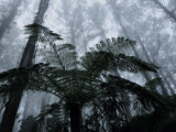 Mountain Ash Trees and Tree Ferns in Fog, Dandenong Ranges, Victoria, Australia Photographie par Schlenker Jochen