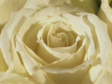 Portrait of a White Rose Corolla Photographic Print by Murray Louise
