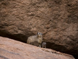 Rock Dassie with Her Young, Namibia, Africa Photographic Print by Milse Thorsten