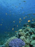 Reef Scene with Fish and Coral, Red Sea, Egypt, North Africa, Africa Photographic Print by Murray Louise